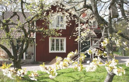 Körsbärsblom 20070501_1_1